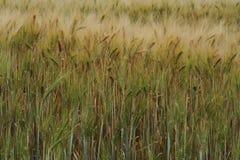 Grano amarillo listo para la cosecha Fotografía de archivo
