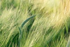 Grano, avena, segale, orzo - campo agricolo non maturo Fotografia Stock Libera da Diritti