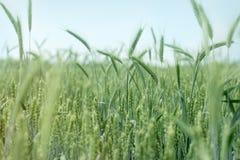 Grano, avena, segale, orzo - campo agricolo non maturo Fotografie Stock