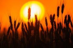 Grano barbuto profilato sul tramonto fotografia stock