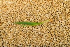 Grano brotado del trigo Imagen de archivo libre de regalías