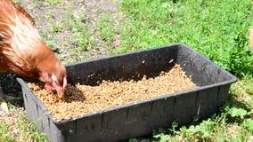 Grano casero del peck de los pollos del canal almacen de video