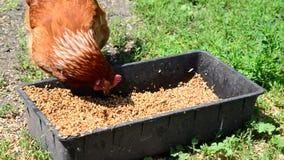 Grano casero del peck de los pollos del canal metrajes