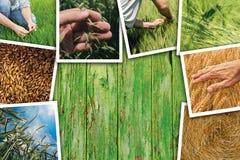 Grano che coltiva in collage della foto di agricoltura Immagine Stock Libera da Diritti