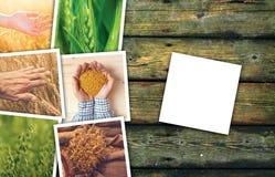 Grano che coltiva in collage della foto di agricoltura Immagini Stock