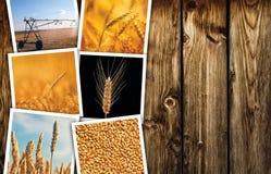Grano che coltiva in collage della foto di agricoltura Fotografie Stock Libere da Diritti