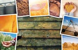 Grano che coltiva il collage della foto Immagini Stock