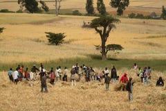 Grano che raccoglie in Etiopia in Africa Fotografia Stock