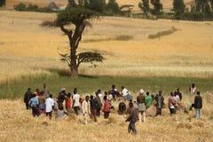 Grano che raccoglie in Etiopia in Africa Fotografie Stock