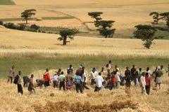 Grano che raccoglie in Etiopia in Africa Immagine Stock