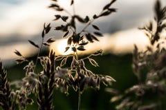 Grano davanti al tramonto Fotografia Stock