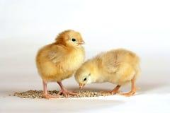 Grano de alimentación dulce de dos polluelos Imagen de archivo libre de regalías