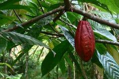 Grano de cacao rojo natural Fotos de archivo