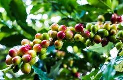 Grano de café amarillo en cafeto Foto de archivo