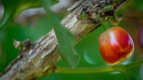Grano de café crudo fresco en árbol fotos de archivo