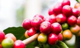 Grano de café en árbol Imagen de archivo libre de regalías