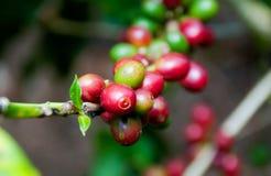 Grano de café en árbol Fotos de archivo