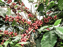Grano de café rojo Fotografía de archivo