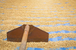 Grano de sequía del arroz o del arroz Foto de archivo libre de regalías