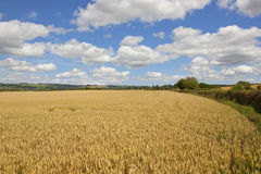 Grano dei wolds di Yorkshire Immagine Stock
