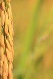 Grano del arroz. Foto de archivo libre de regalías