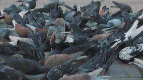 Grano del bacetto dei piccioni nel quadrato Fucilazione lenta dalla terra Piccioni al sole video d archivio