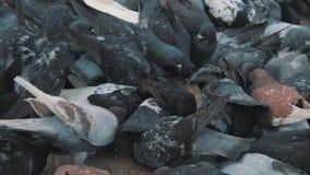 Grano del bacetto dei piccioni nel quadrato Fucilazione lenta dalla terra Piccioni al sole archivi video