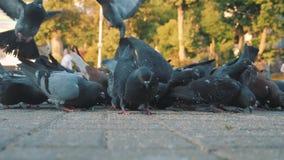 Grano del bacetto dei piccioni nel quadrato Fucilazione lenta dalla terra Piccioni al sole stock footage