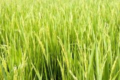 Grano del campo del arroz Fotos de archivo