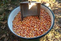 Grano del cereale in un secchio Immagini Stock