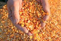 Grano del cereale in una mano Immagini Stock Libere da Diritti