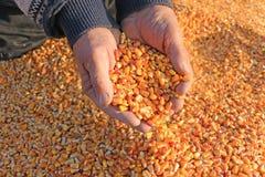 Grano del cereale in una mano Fotografia Stock
