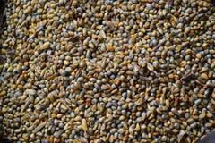 Grano del maíz de Guinea Fotografía de archivo libre de regalías