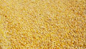 Grano del maíz que vierte en una pila con un showel metrajes