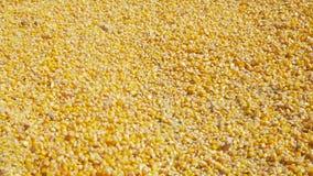 Grano del maíz que vierte en una pila con un showel almacen de video
