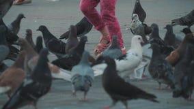 Grano del peck de las palomas en el cuadrado Tiroteo lento de la tierra Palomas en el sol