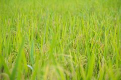 Grano del riso nell'azienda agricola della risaia Fotografia Stock