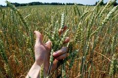 Grano del trigo de la explotación agrícola de brazo Fotografía de archivo libre de regalías