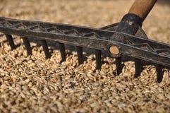 Grano del trigo en luz del sol Fotografía de archivo