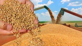 Grano del trigo en una mano Fotos de archivo
