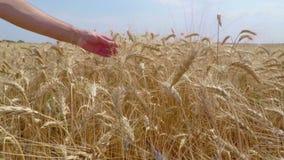 Grano del grano in un agricoltore Hands video d archivio