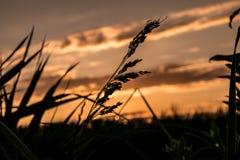 Grano delante de la puesta del sol Foto de archivo libre de regalías