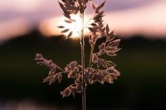 Grano delante de la puesta del sol Fotografía de archivo libre de regalías
