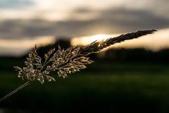 Grano delante de la puesta del sol Imagen de archivo libre de regalías