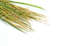 Grano della risaia Fotografia Stock