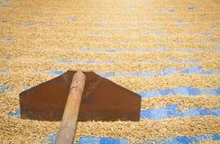 Grano di secchezza del riso o della risaia fotografia stock libera da diritti