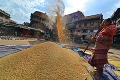 Grano di trebbiatura della donna nel modo tradizionale nel Nepal Fotografie Stock
