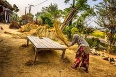 Grano di trebbiatura della donna nepalese manualmente Fotografie Stock