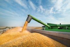Grano di versamento del cereale nel rimorchio di trattore Fotografia Stock Libera da Diritti