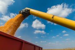 Grano di versamento del cereale nel rimorchio di trattore Immagine Stock